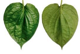 betal-leaves